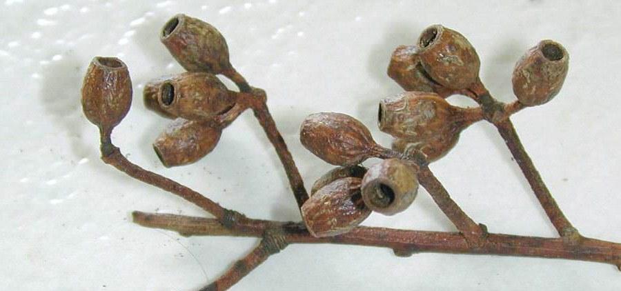 Eucalyptus Cladocalyx Seeds