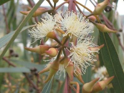 Eucalyptus Camaldulensis -  River Red Gum - flower