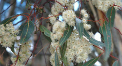 eucalyptus cladocaly Flower