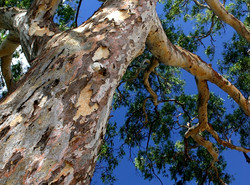 Eucalyptus Camaldulensis -  River Red Gum - Tree detail - Bark 2