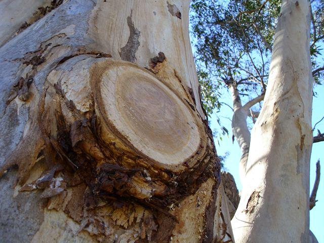 Eucalyptus Cladocalyx End