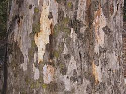 Eucalyptus Camaldulensis -  River Red Gum - tree detail - Bark