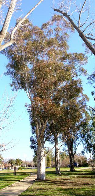Eucalyptus Cladocalyx Tree Road