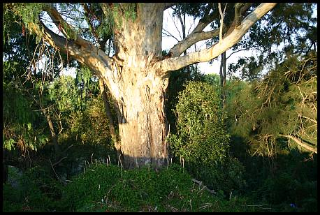 Eucalyptus Camaldulensis -  River Red Gum - Tree