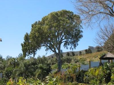 Eucalyptus Camaldulensis -  River Red Gum - Tree 2