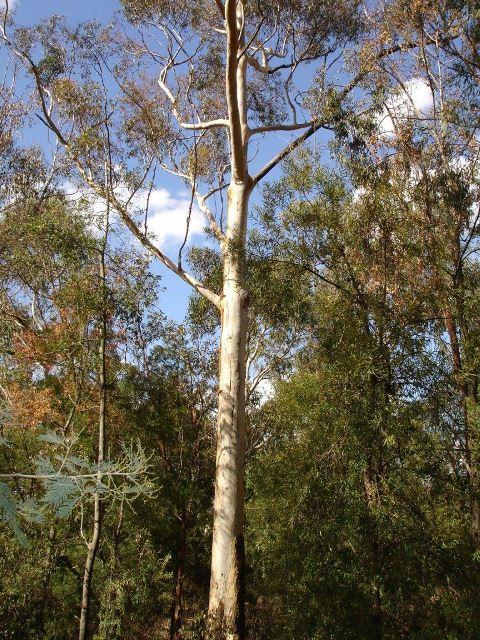 Eucalyptus Cladocalyx Tree 3