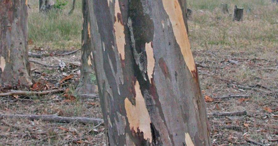 Eucalyptus Cladocalyx Bark