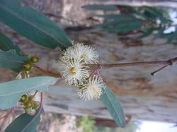 Eucalyptus Camaldulensis -  River Red Gum (2)