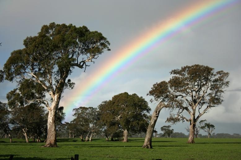 Eucalyptus Camaldulensis -  River Red Gum