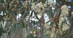 Eucalyptus Cladocalyx Flower