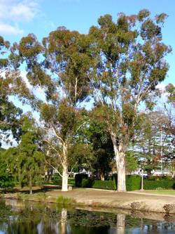 Eucalyptus Cladocalyx Trees