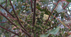 Eucalyptus Cladocaly Seeds