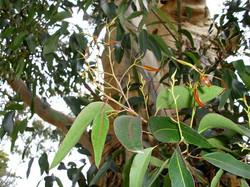 Eucalyptus Cladocalyx Tree Leafs
