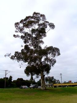 Eucalyptus Cladocalyx Tree