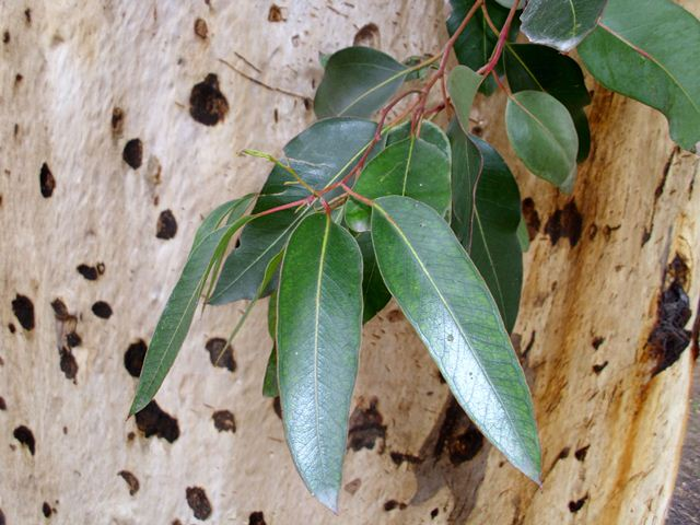 Eucalyptus Cladocalyx Bark and Leaf