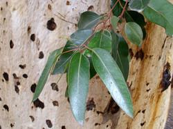 Eucalyptus Cladocalyx Bark and Leaf