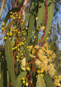 Eucalyptus Camaldulensis - River Red Gum -   buds and flowers