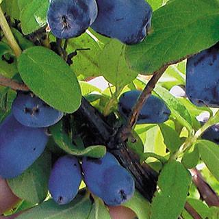 Lonicera caerulea edulis 'Yezberry Solo'