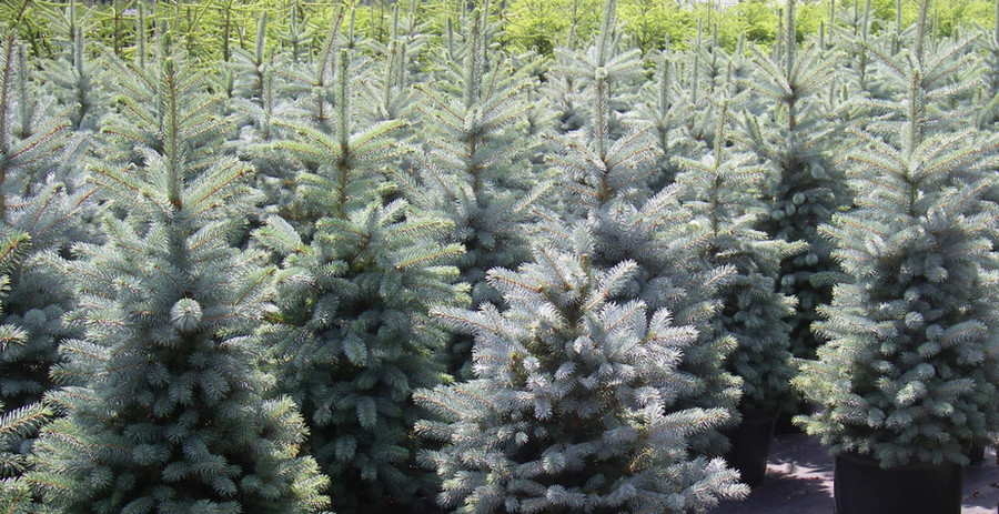 Picea pungens 'Baby_Blue'