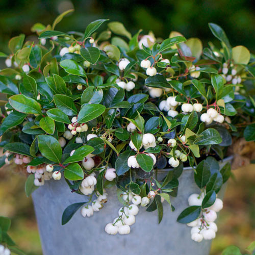 Gaultheria procumbens 'Peppermint Pearl'