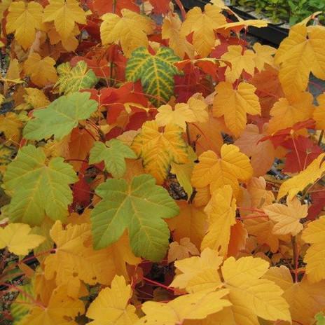 Acer pseudoplatanus 'Regal Petitcoat'