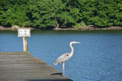 Great Blue Heron Chesapeake Bay