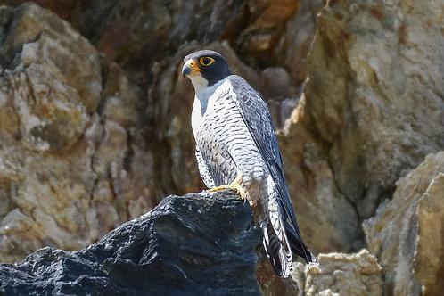 Peregrin Falcon Digital File