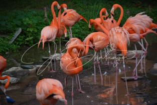 Jann Denlinger Photography - Flamingo