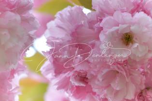 Jann Denlinger Photography - Apple Blossoms