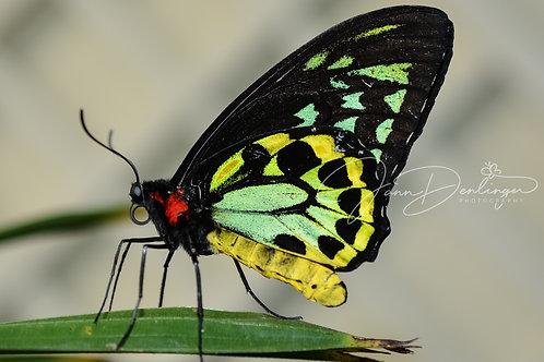 Birdwing Butterfly Digital File
