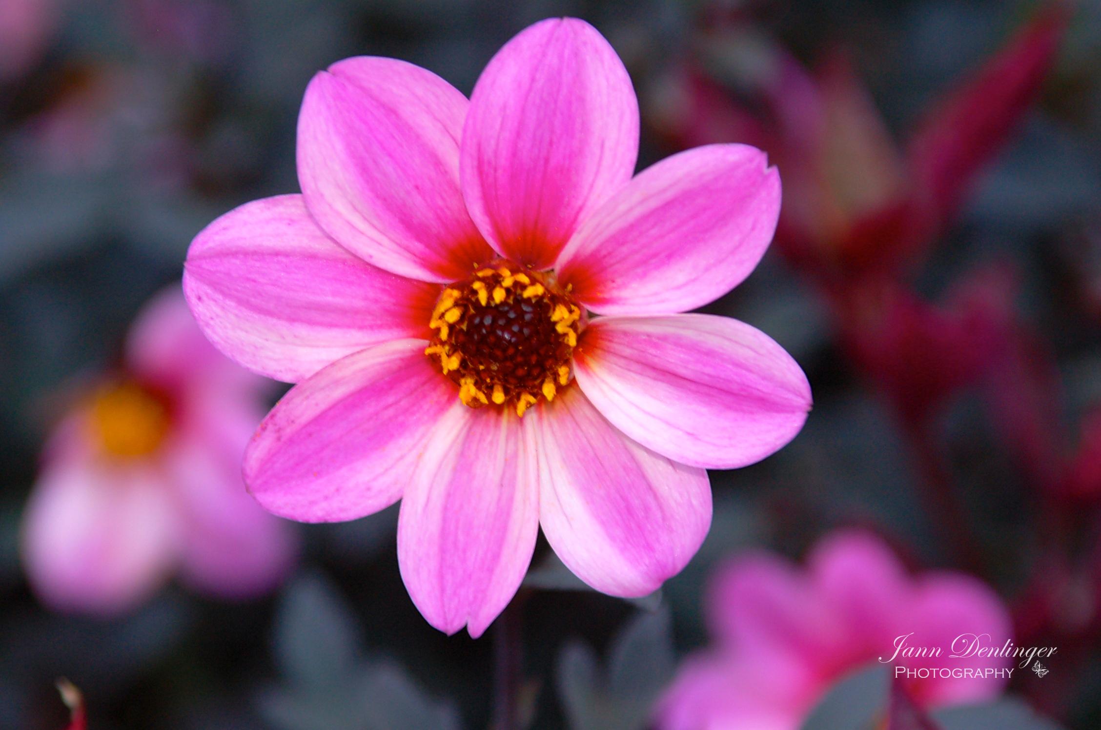Pink.wm