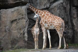 Jann Denlinger Photography - Giraffe