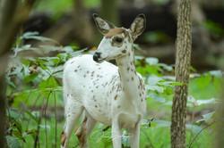 Jann Denlinger Photography Piebald Deer