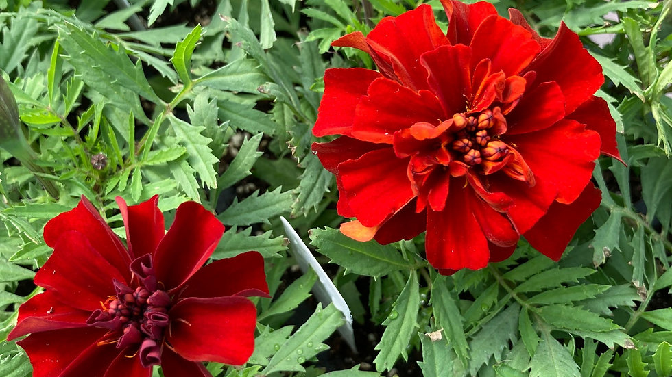 "Marigold ""Fireball"", 4-pack Plants"