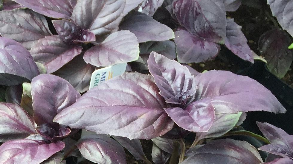 "Dark Purple Italian Basil, 4"" Potted Plant"