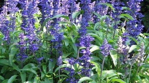 "Salvia ""Victoria"", 4-pack Plant"