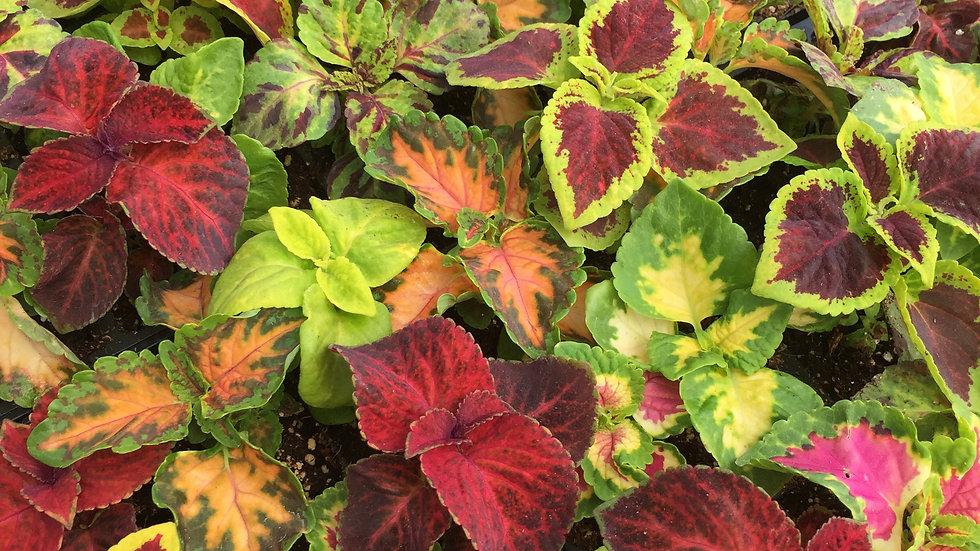 Coleus, 4-pack Plants