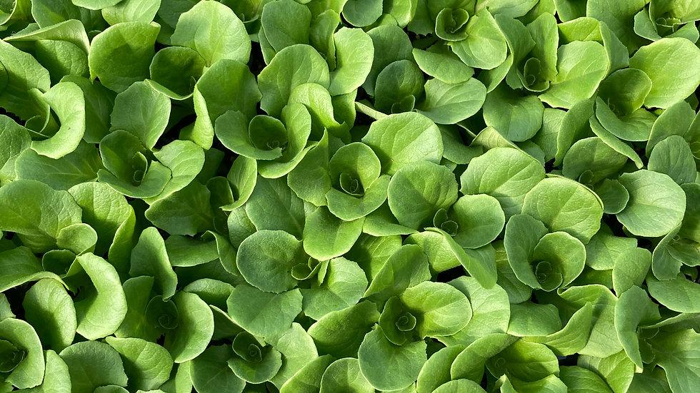 Lettuce, 6-pack Plants