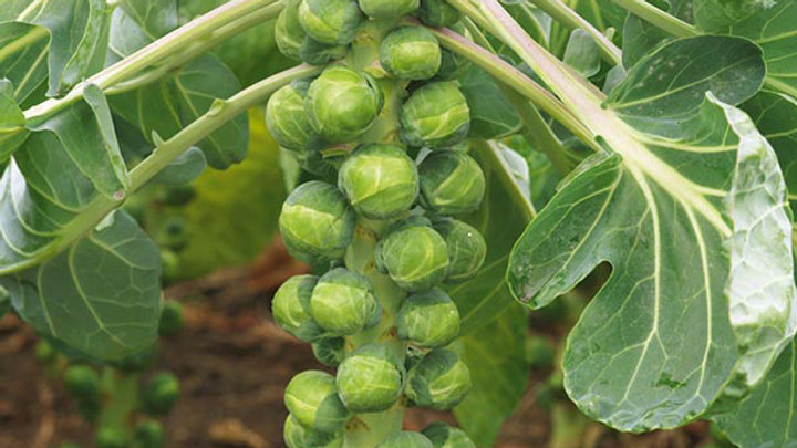 Brussels Sprouts, 4-pack Plants