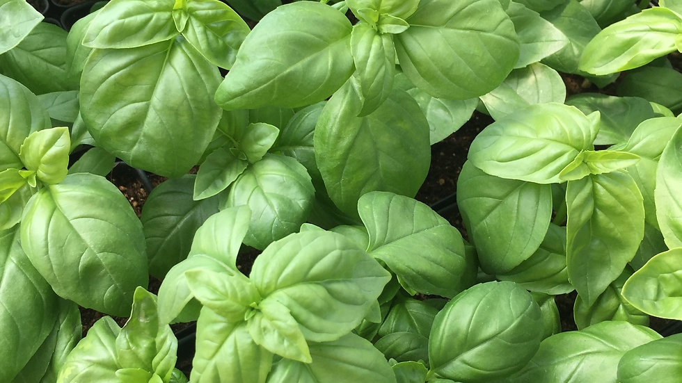 "Italian Basil, 4"" Potted Plant"