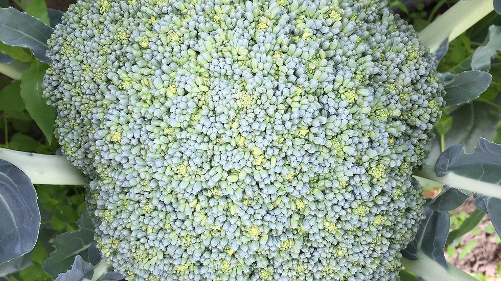 "Broccoli ""Green Magic"", 6-pack Plants"