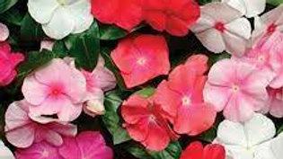 """Vinca """"Pacifica Mix"""", 6-pack Plants"""