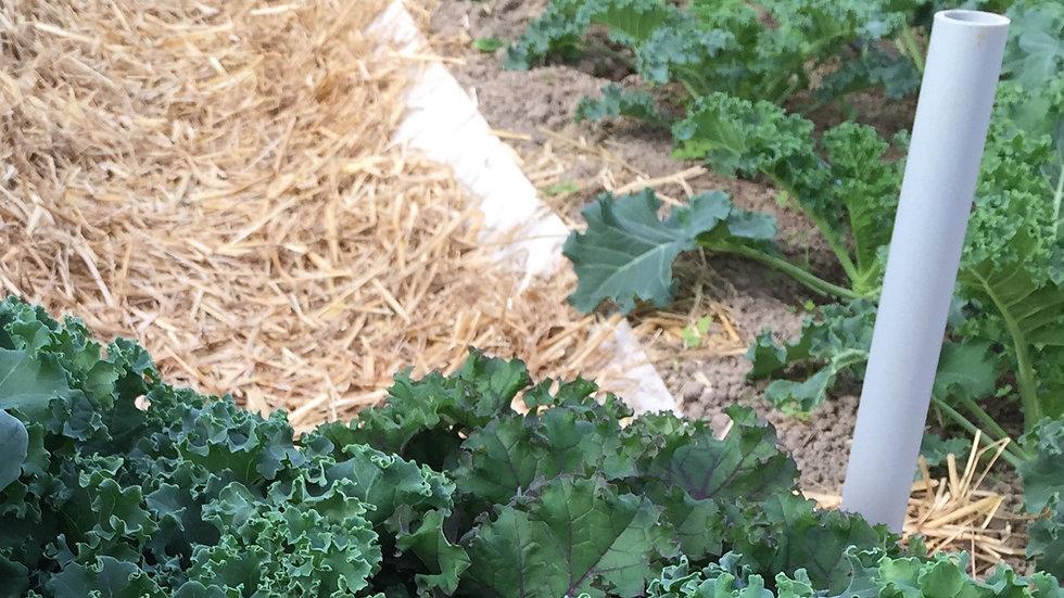 "Kale ""Blue Curled"", 6-pack Plants"