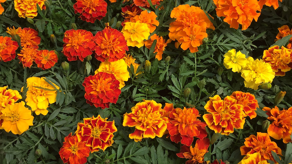 "Marigold ""Bonanza"" 4-pack Plants"
