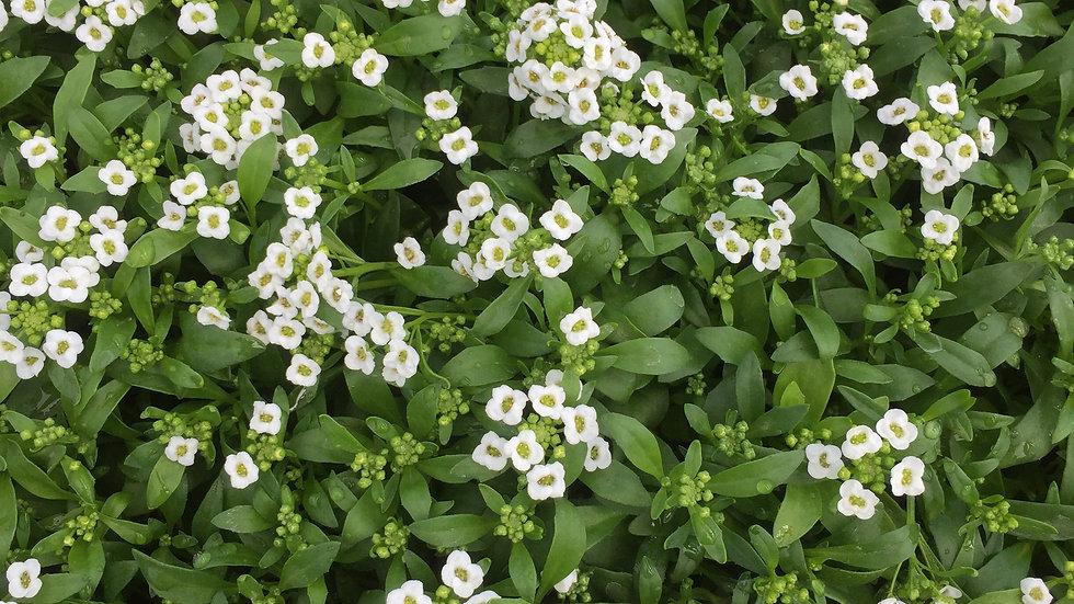 Alyssum, 4-pack Plants