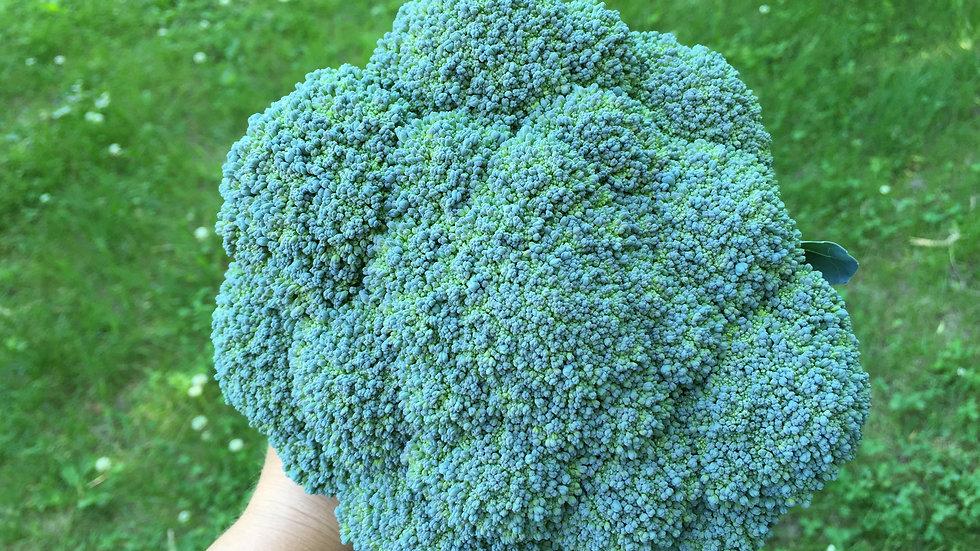 "Broccoli ""Gypsy"", 6-pack Plants"