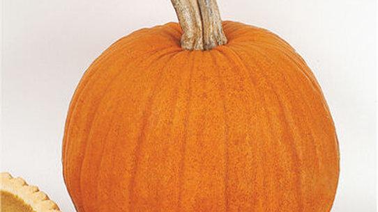 """Pumpkins, 3"""" Potted Plant"""