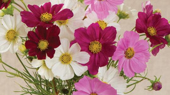 "Cosmos ""Versailles"", 4-pack Plants"