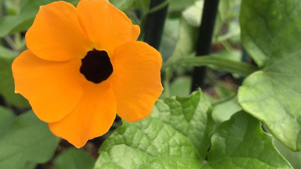 """Black Eyed Susan Vine """"Orange"""", 4.5"""" Potted Plant"""