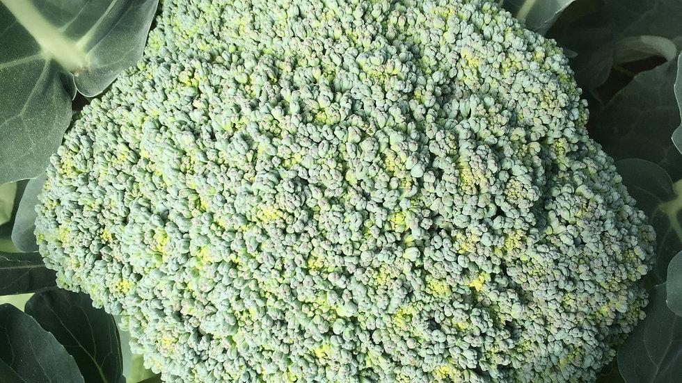 "Broccoli ""Amadeus"", 6-pack Plants"